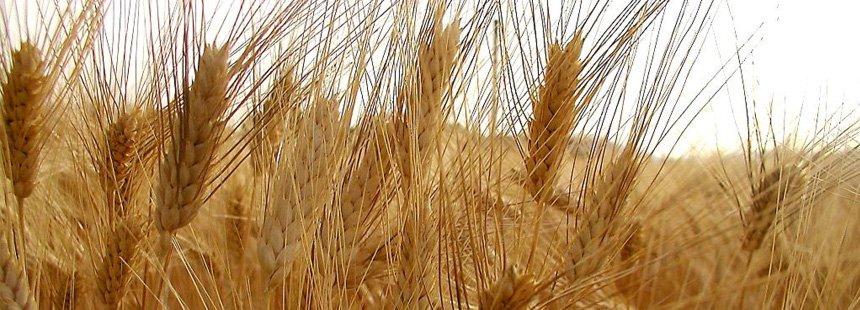 La Spiga doro Antichi cereali - La Spiga doro