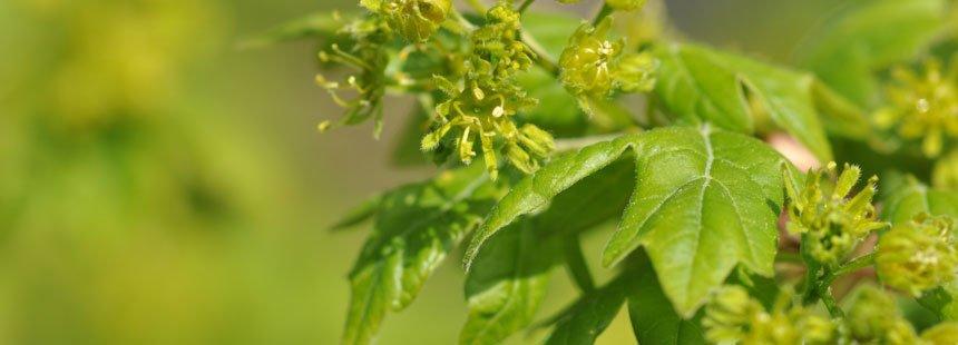 La spiga d 39 oro alberi a foglia caduca da piantare in - Alberi da piantare in giardino ...